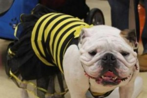 Bulldog dressed as a bee for Halloween