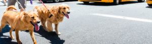 Two golden retrievers on a walk in the city